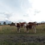 mucche-vacanza-yoga
